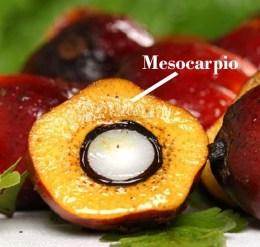 oil-palm-fruit-showing-kernel-edit copia