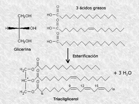 Reacción de esterificación entre la glicerina y tres ácidos grasos para formar un triacilglicérido